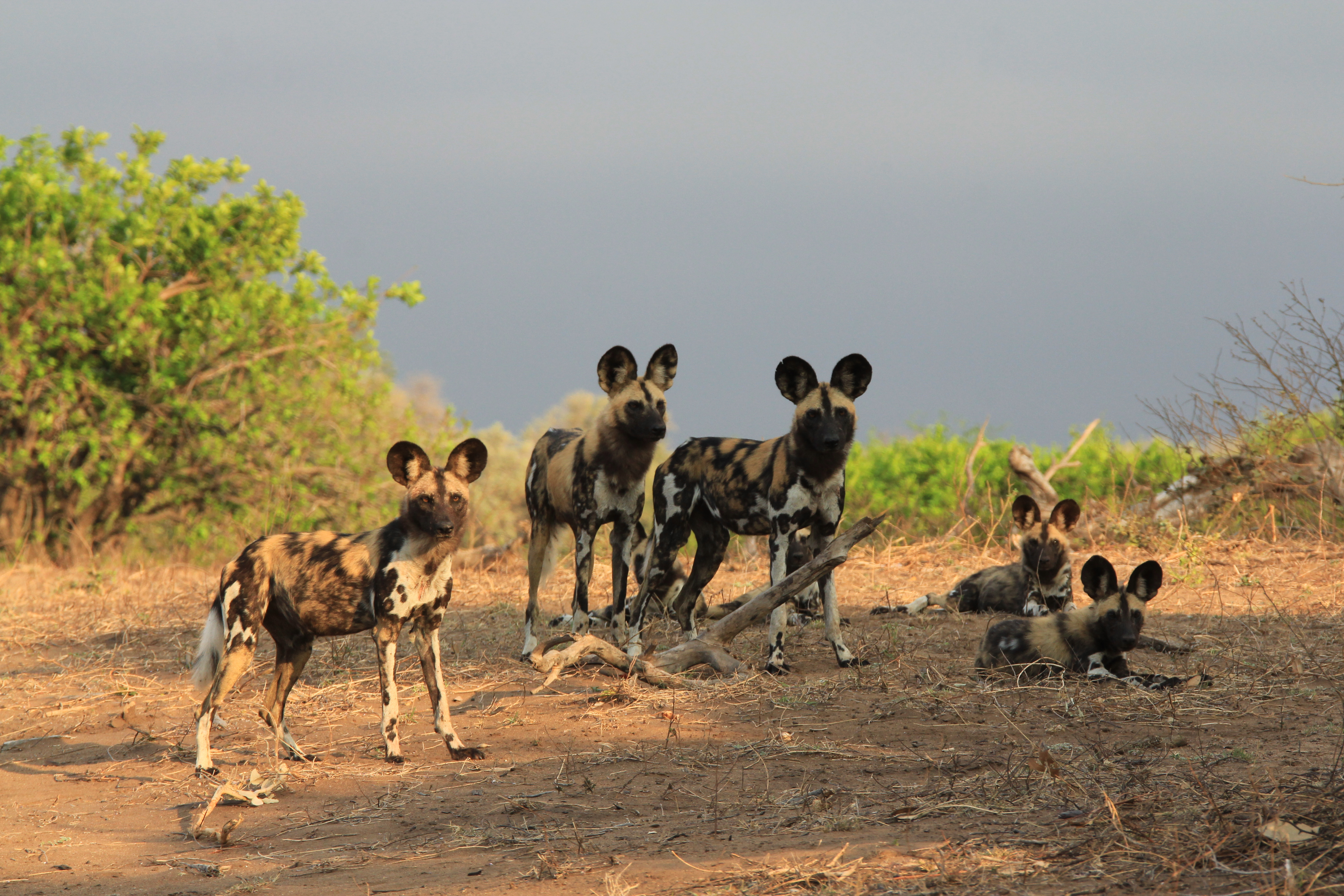 Painted Hunting Dog pack