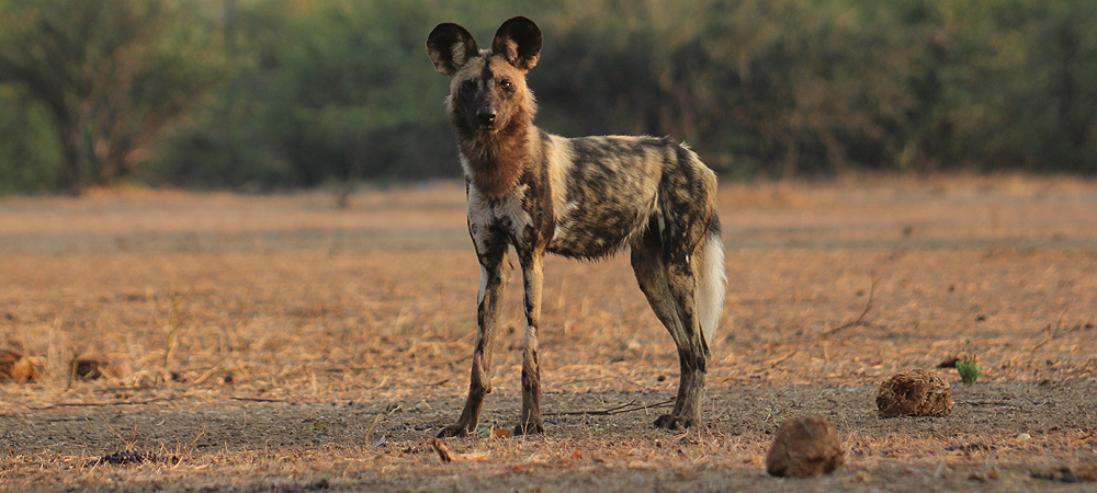 Painted Hunting Dog close to camp