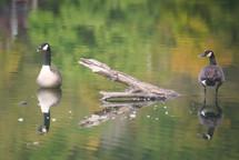 20100917 Geese.jpg