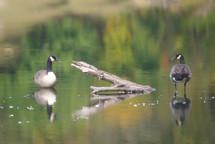 20100926 Geese.jpg
