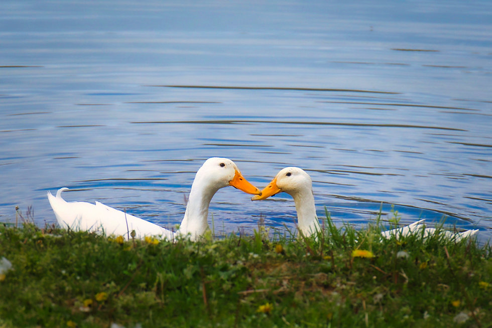 Ducks 20042201.jpg