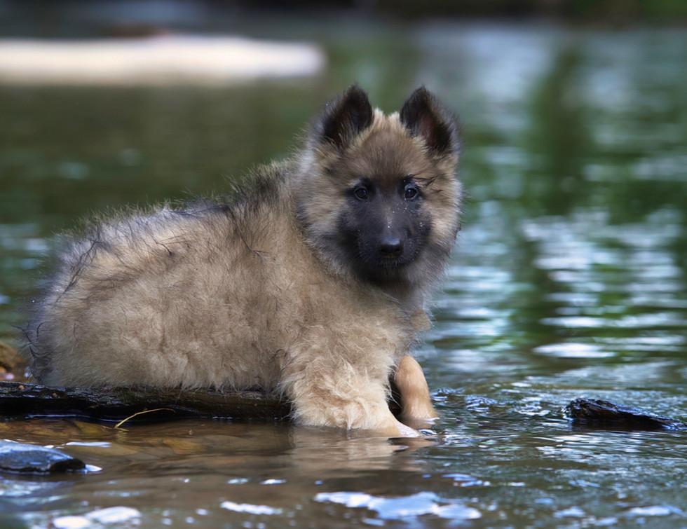 Aftershock Puppy