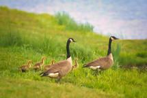 20051416 Goslings.jpg