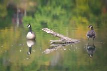 20100920 Geese.jpg