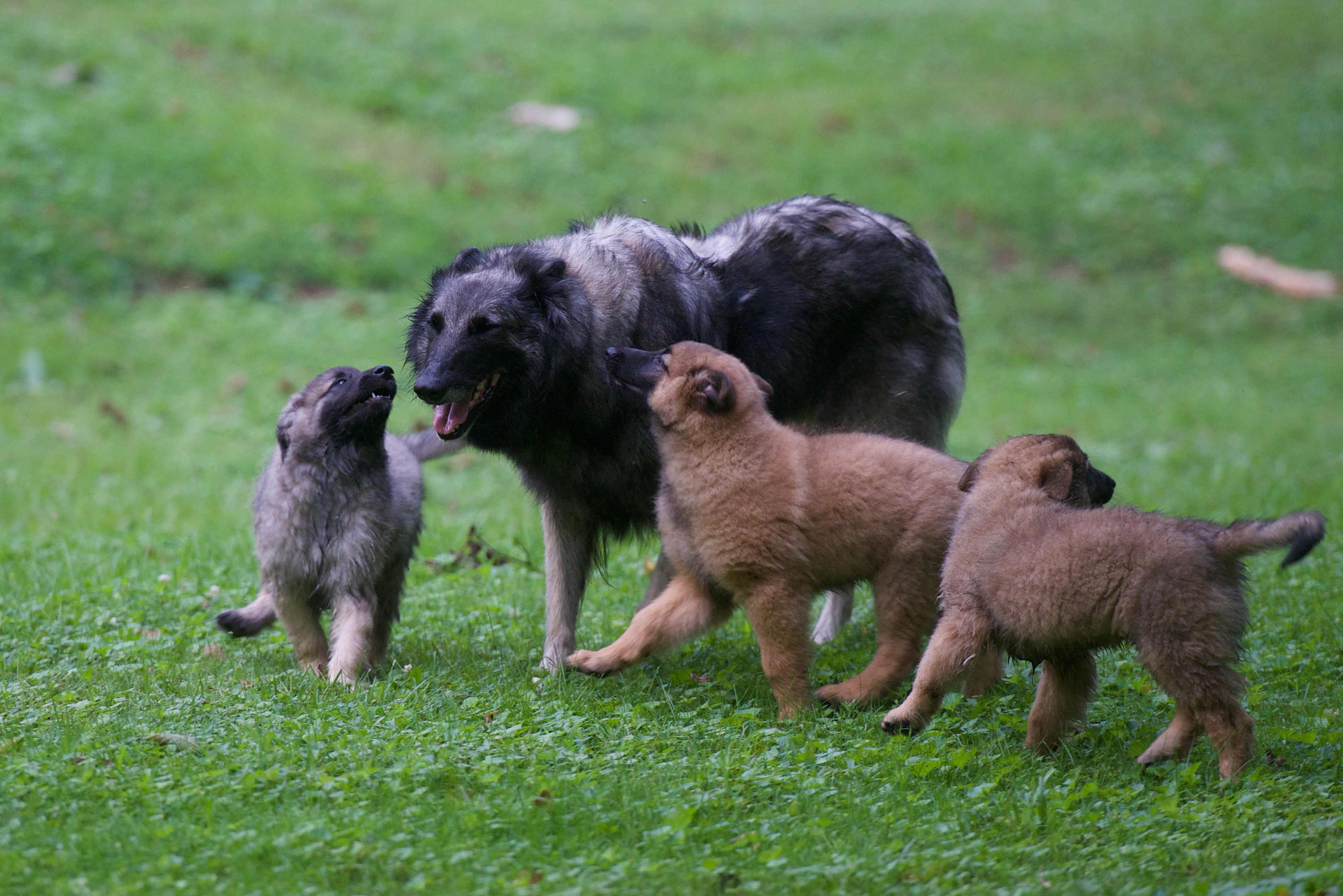 GW 2018 Puppies 10w 18091103 Willow