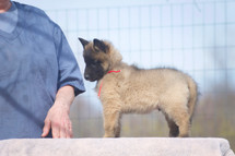 Dexter x Bibi Puppy 7w
