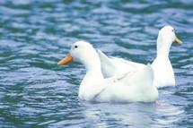20051427 Ducks.jpg