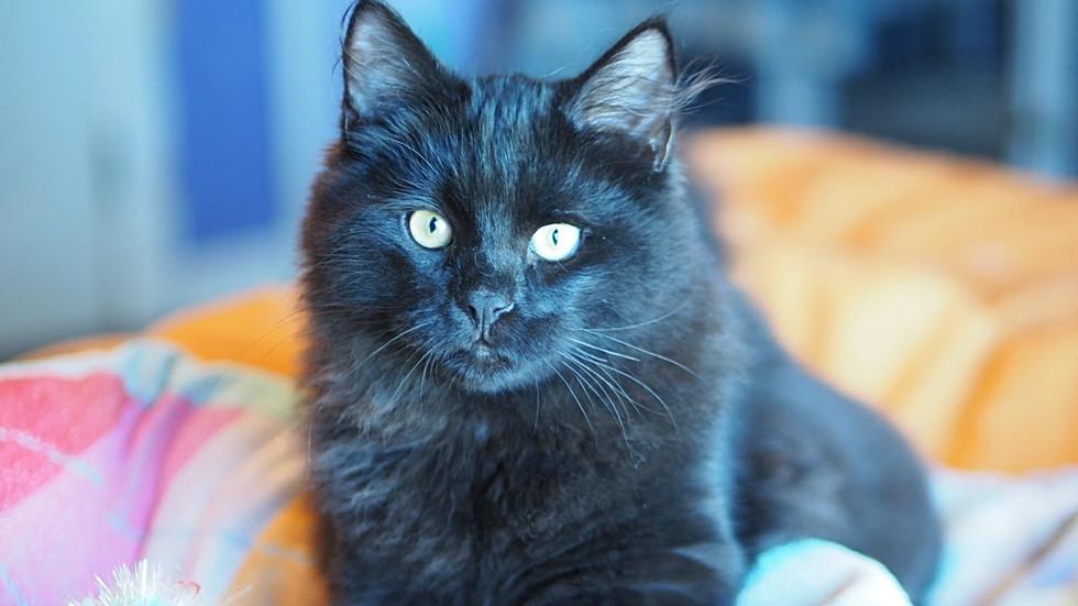 Avaiable Siberian Kitten