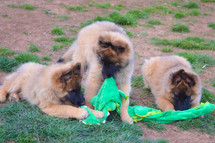 Rick x Kalahari Puppies 12w