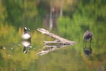20100914 Geese.jpg