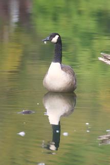 20100919 Goose.jpg