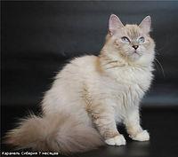 Karamel' Syberia Ch..jpg
