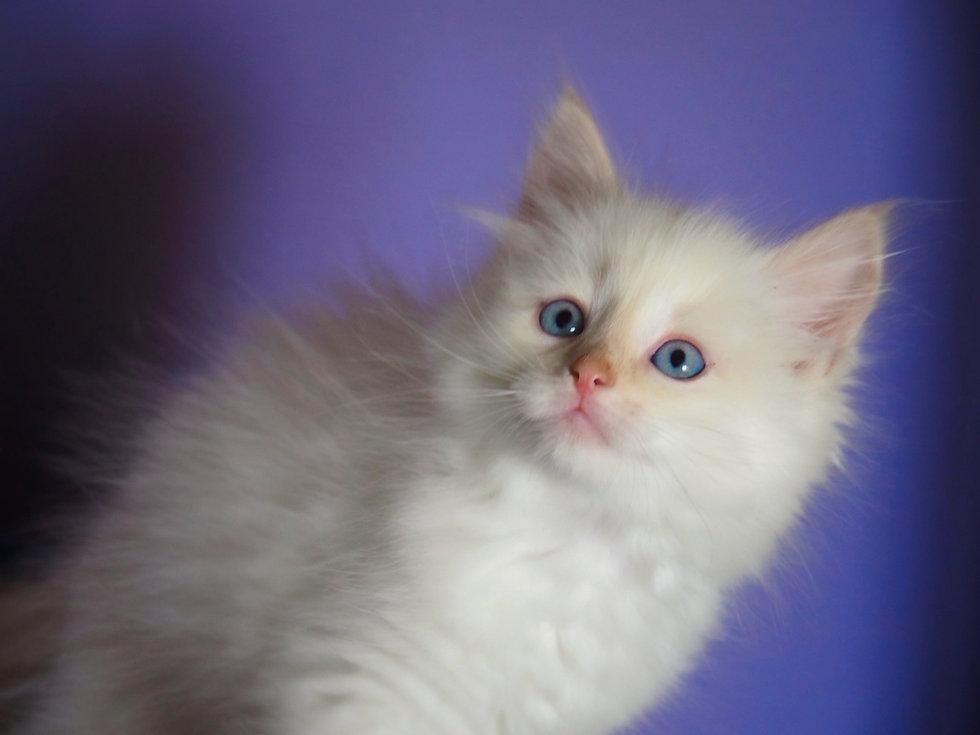 Kitten 2019 TB Flame Point 8w.jpg