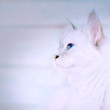 Siberian Kittens / Winterlight Cattery