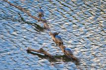 20100101 Blanding's Turtles.jpg