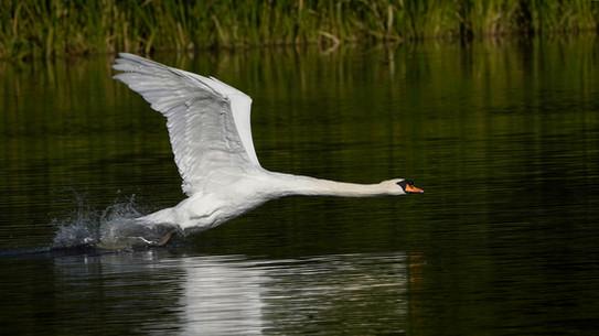 2019RFNHM_PDI_035 - Angry Mute Swan by Rowland White.