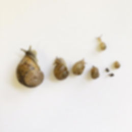 buy fresh escargot online, peconic escargot, wholesale escargot, buy snails online, buy escargot, fresh escargot
