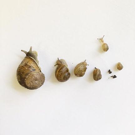 buy fresh escargot online, peconic escargot, wholesale escargot, buy snails online, buy escargot, fresh escargot