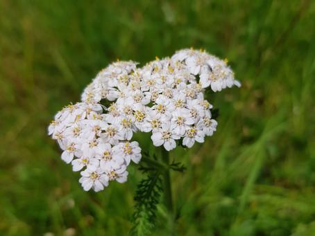 Yarrow - Achillea millefolium Use aerial parts - leaves and flowers