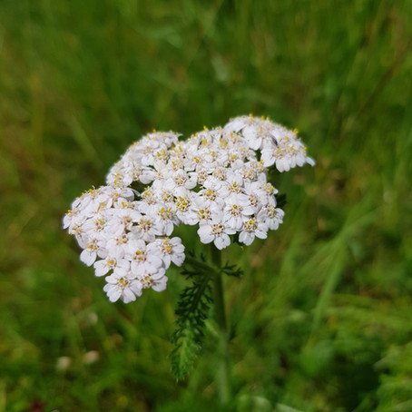 Yarrow - Achillea millefolium Use aerial parts - leaves and flowers