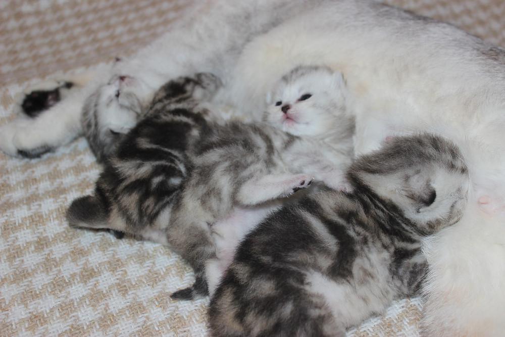 18 мая наша красавица Violetta Angelica Cats подарила нам трёх чудесных малышей! Двух мальчиков и одну девочку.