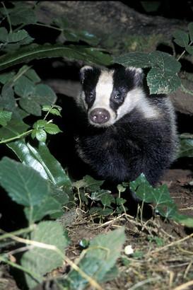 Badger 10.jpg