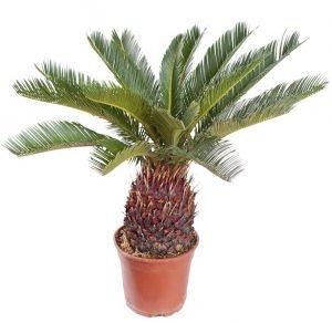Cycad plant.jpg