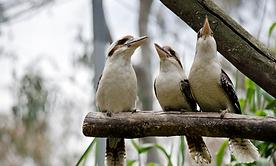 kookaburras.png