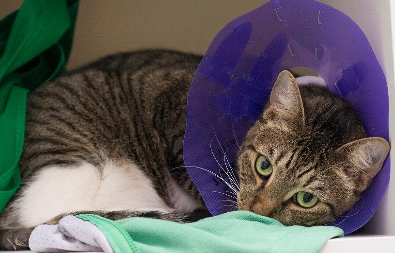 cat in recovery.jpg