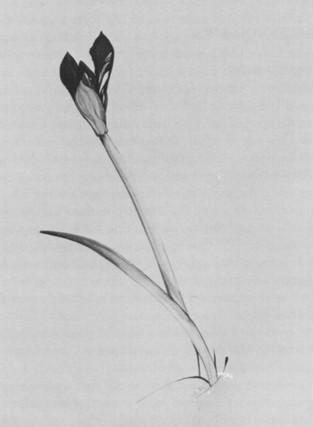 Amaryllis Bud #1