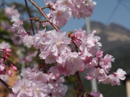 桜咲く☆晴天続きでインスタ映えでござる