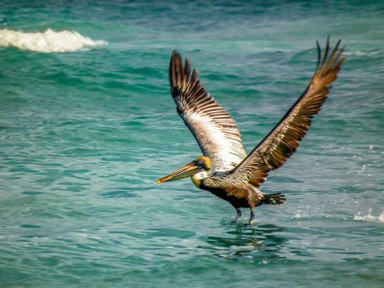 Pelican in Tulum