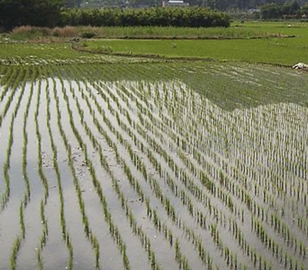 Picture of Flooded Rice Paddy