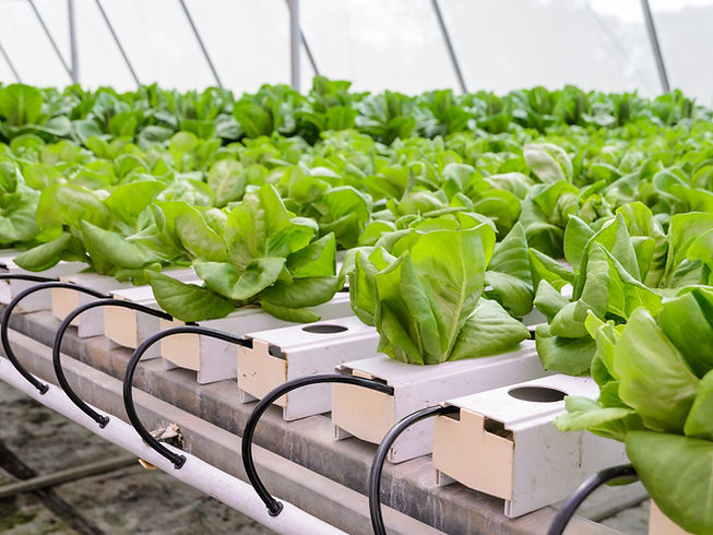 Organic Hydroponic butterhead leaf lettuce vegetables plantation in aquaponics system