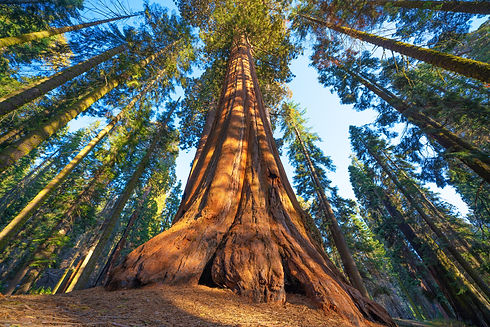 Famous Sequoia park and giant sequoia tr