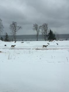 winter-deer.JPG
