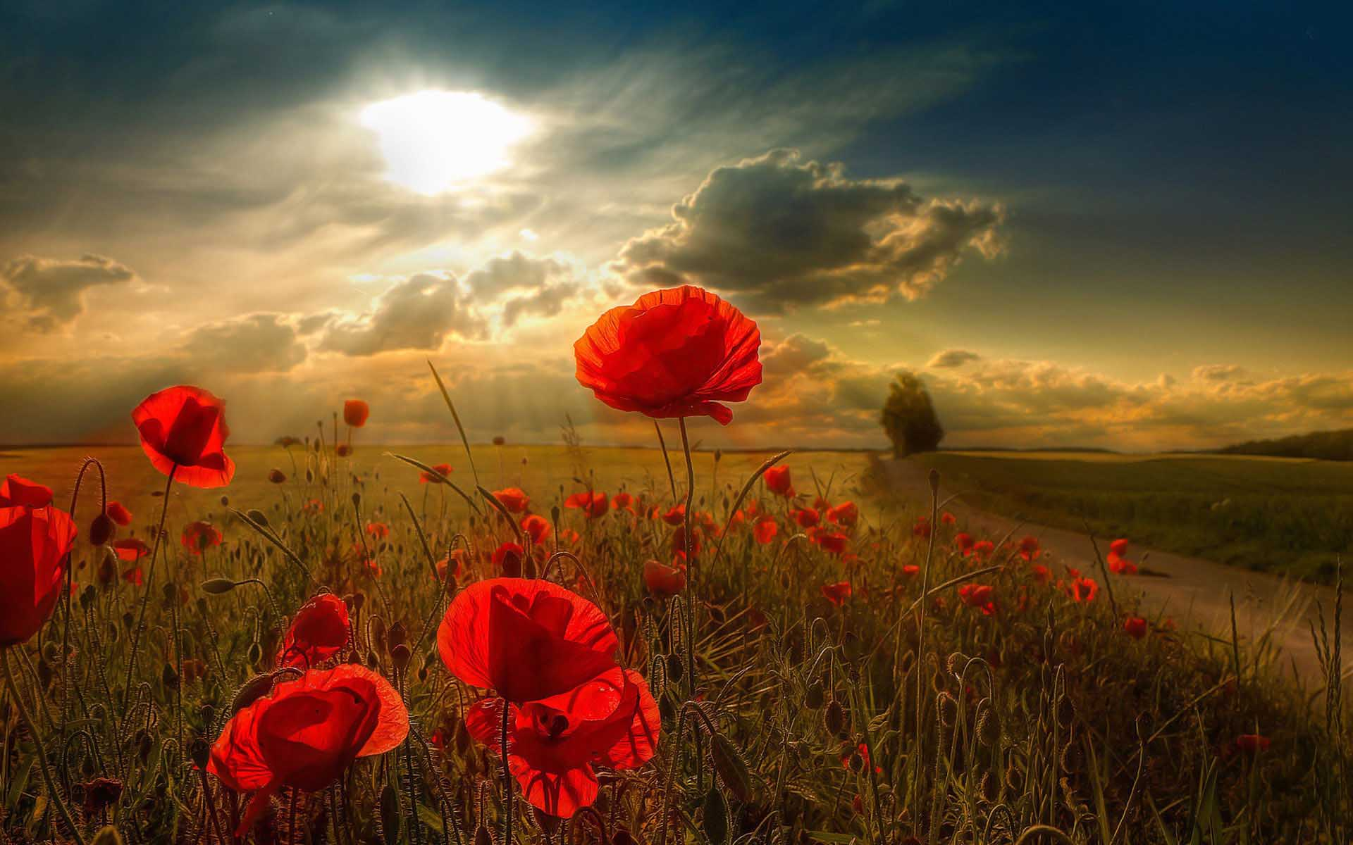 Flower-Poppies-Backgrounds-Photography-Wallpaper-1920x1200