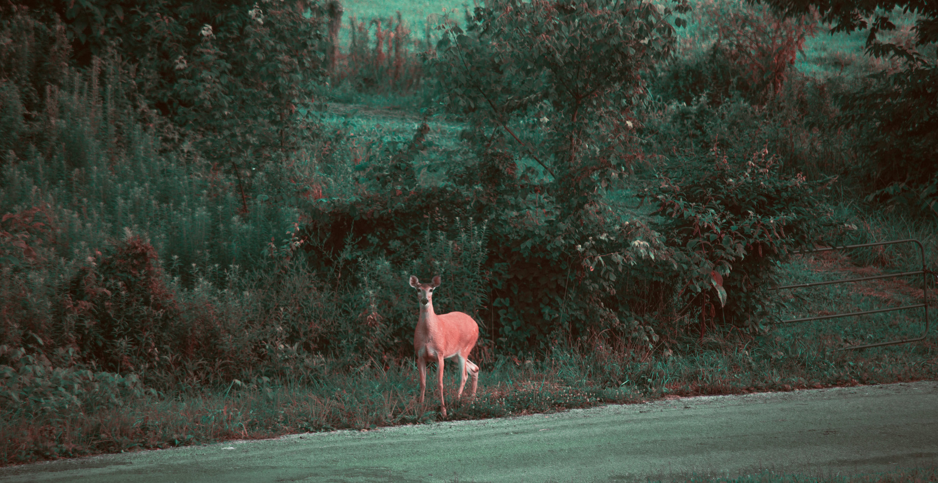 Early Morning Deer