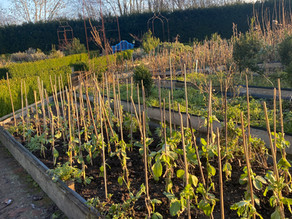 Rescuing the Broad Beans