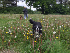 Coping with a crazy Collie!