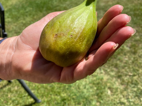 A very large fig