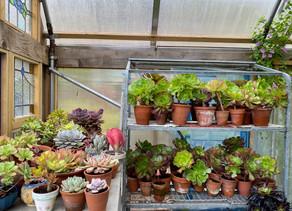 Succulents come inside