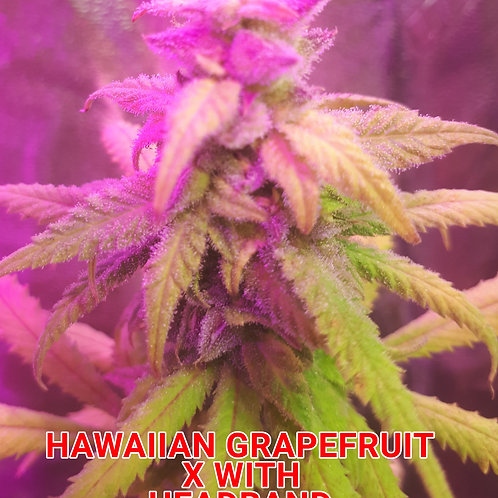 JAMAICAN GRAPEFRUIT F1 (REGULAR) VERY LIMITED