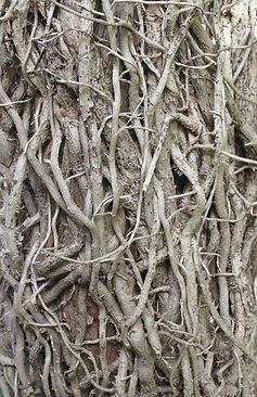 Dead Ivy Vines.jpg