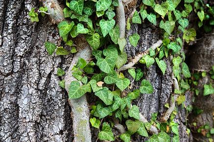 Ivy On Oak Tree.jpg