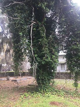 Tree Overtaken by Ivy.jpg
