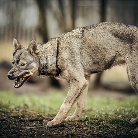 Wolf ≠ Hund