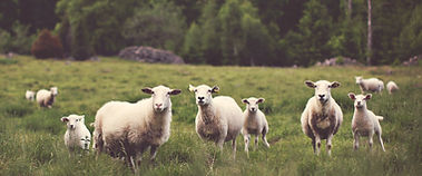Photo of lambs in pasture