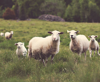 Sheep in Meadow