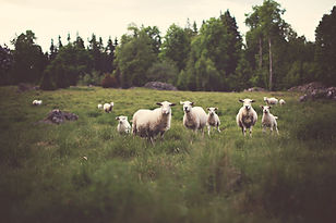 Lambs in he field with large trees in the background